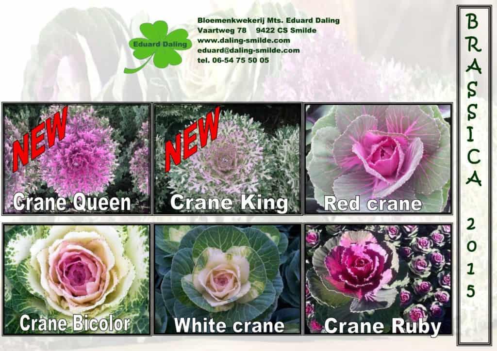 Daling-Brassica