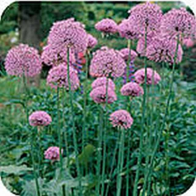 summerflowers-soorten-Allium