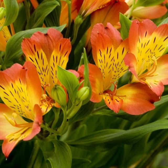 summerflowers-soorten-Alstroemeria