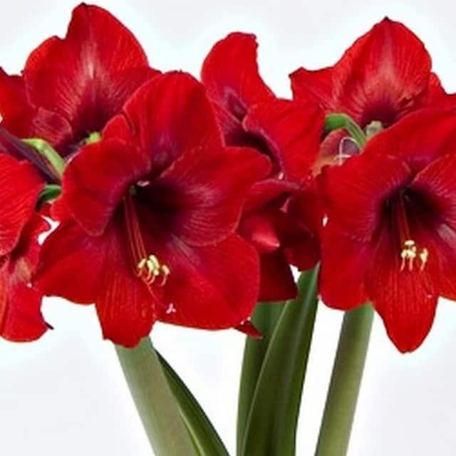 summerflowers-soorten-Amaryllis
