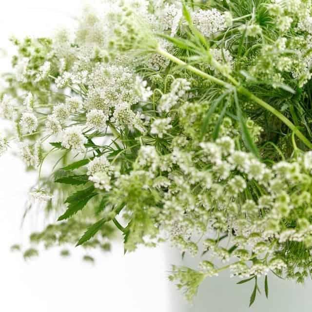 summerflowers-soorten-Ammi-majus