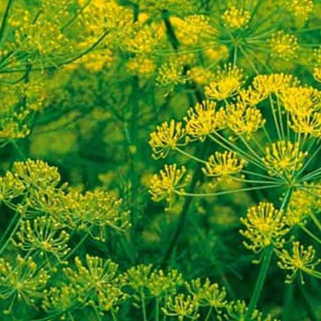 summerflowers-soorten-Anethum-graveolens