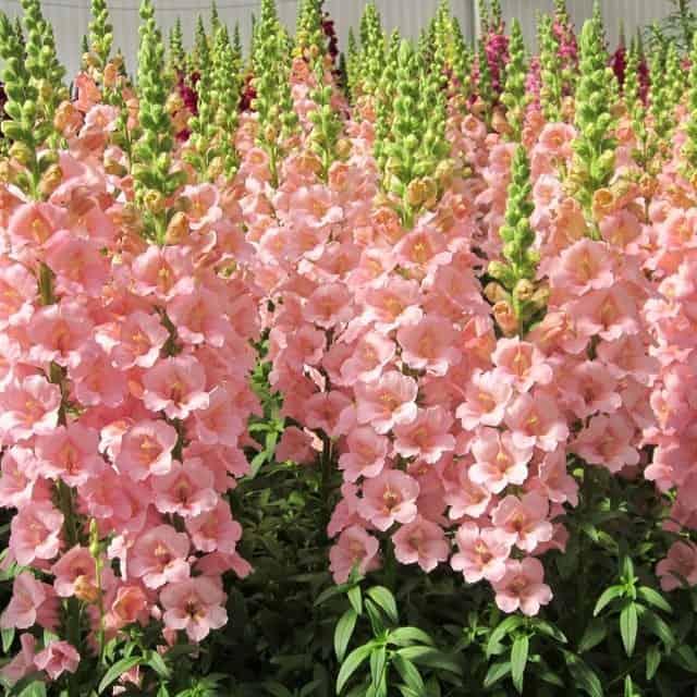 summerflowers-soorten-Antirrhinum