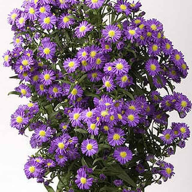 summerflowers-soorten-Aster