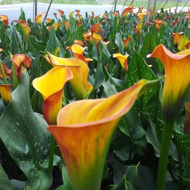 summerflowers-soorten-Calla