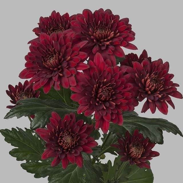 summerflowers-soorten-Chrysant