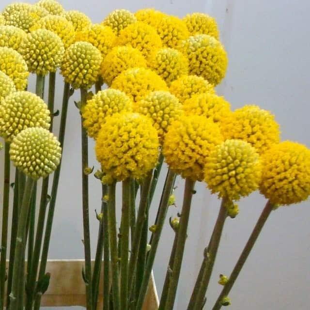 summerflowers-soorten-Craspedia