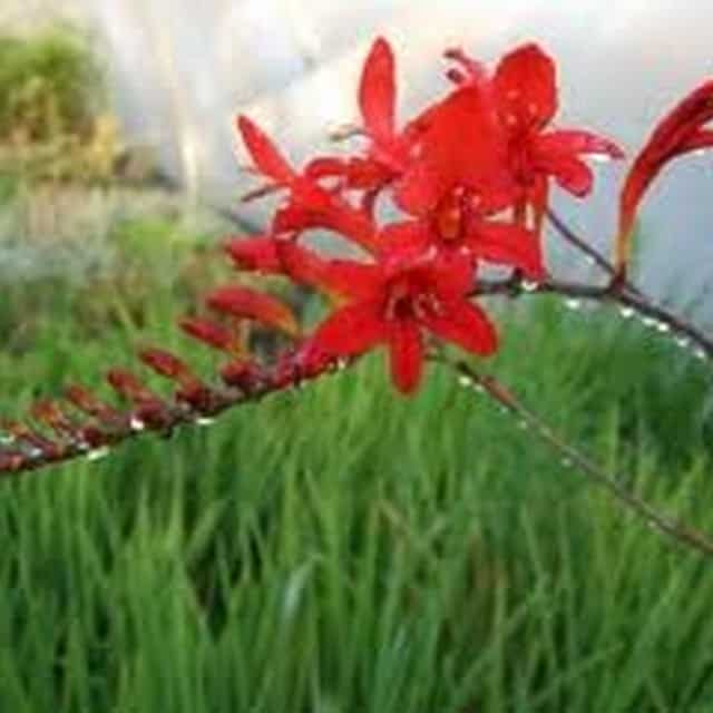 summerflowers-soorten-Crocosmia