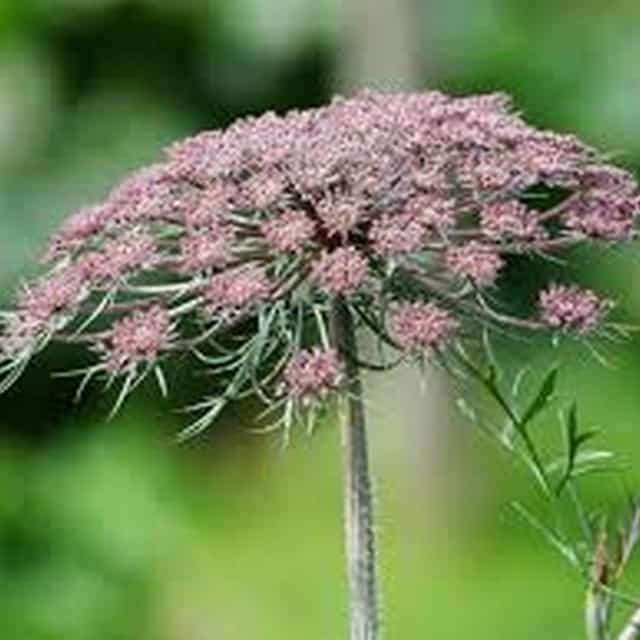 summerflowers-soorten-Daucus
