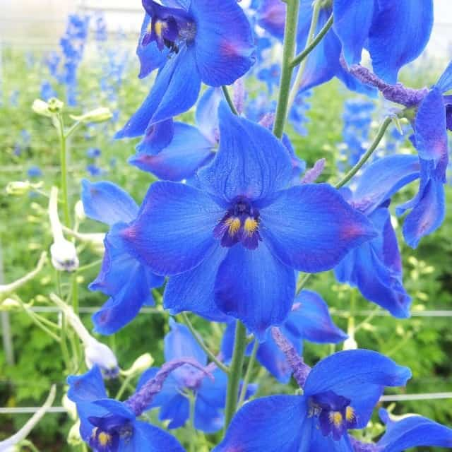 summerflowers-soorten-Delphinium