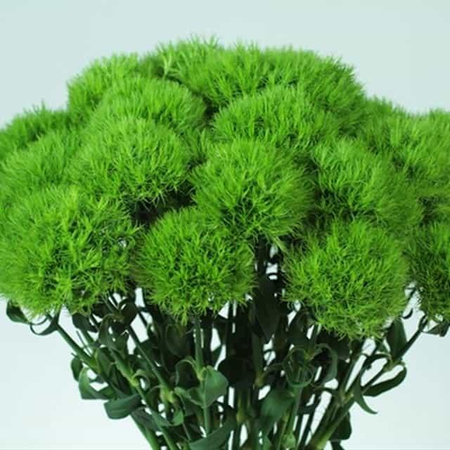 summerflowers-soorten-Dianthus_Barbatus