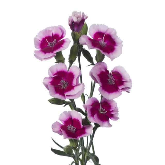 summerflowers-soorten-Dianthus_Solomio