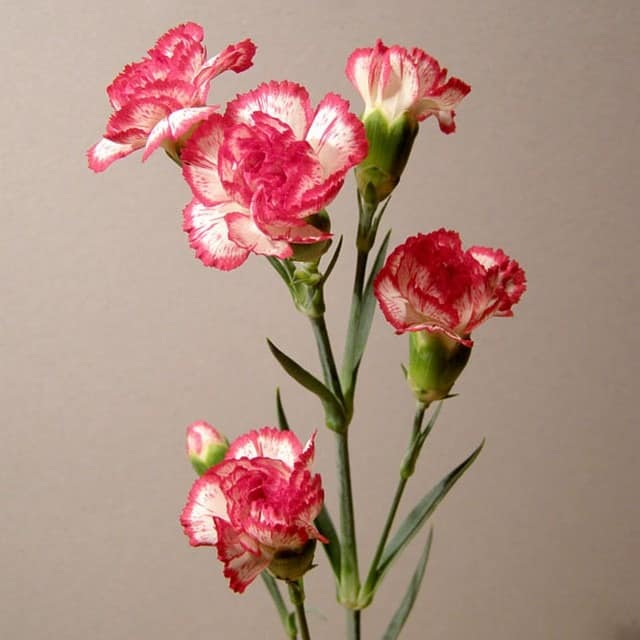 summerflowers-soorten-Dianthus_tros