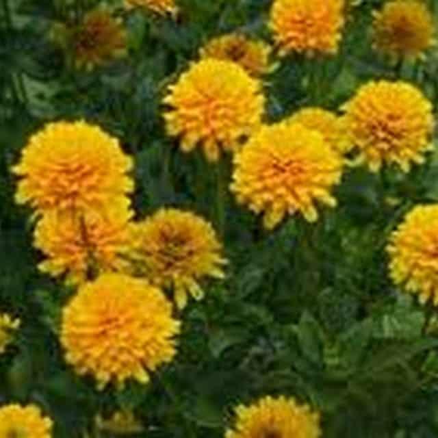 summerflowers-soorten-Heliopsis