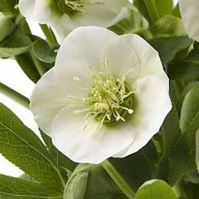 summerflowers-soorten-Helleborus