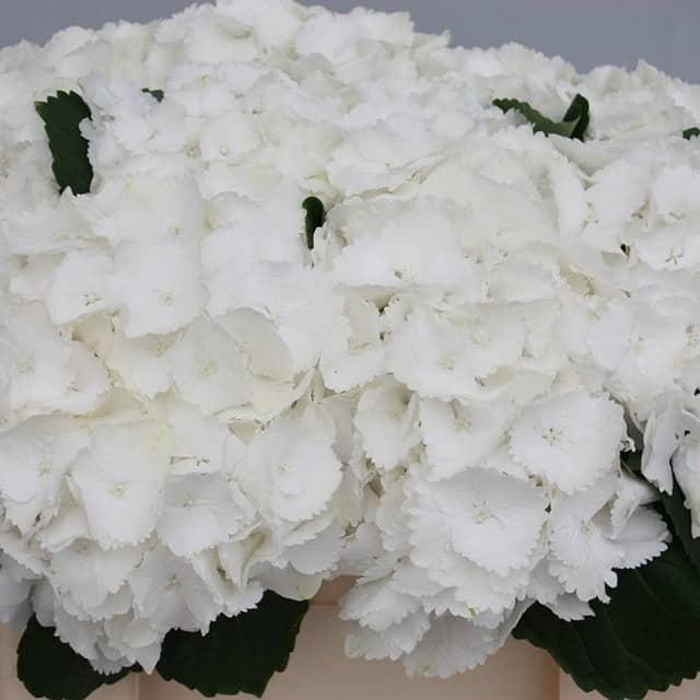 summerflowers-soorten-Hydrangea
