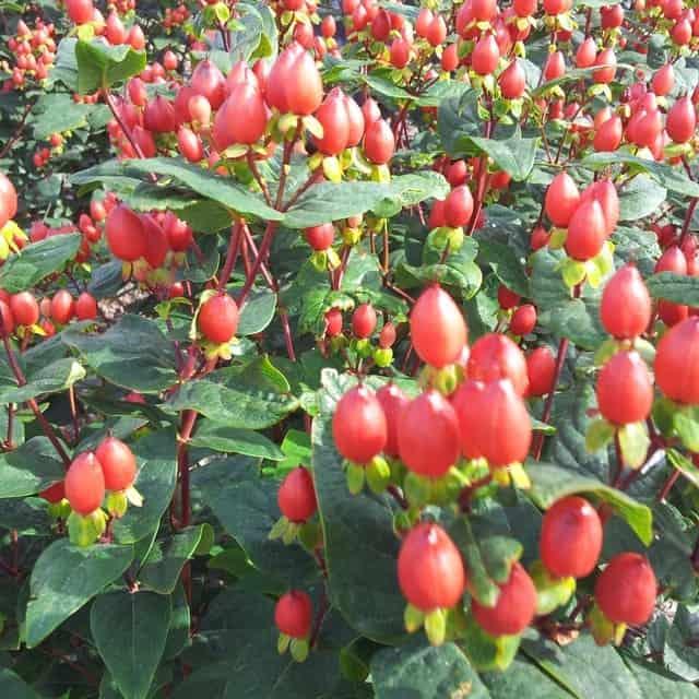 summerflowers-soorten-Hypericum