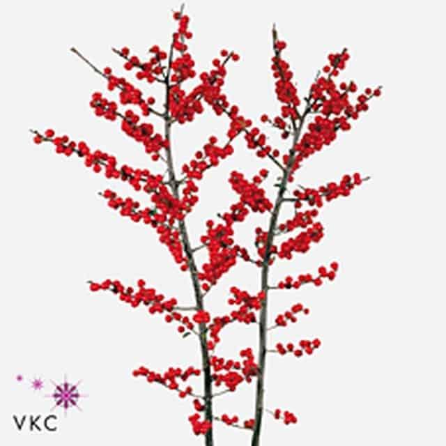 summerflowers-soorten-Ilex