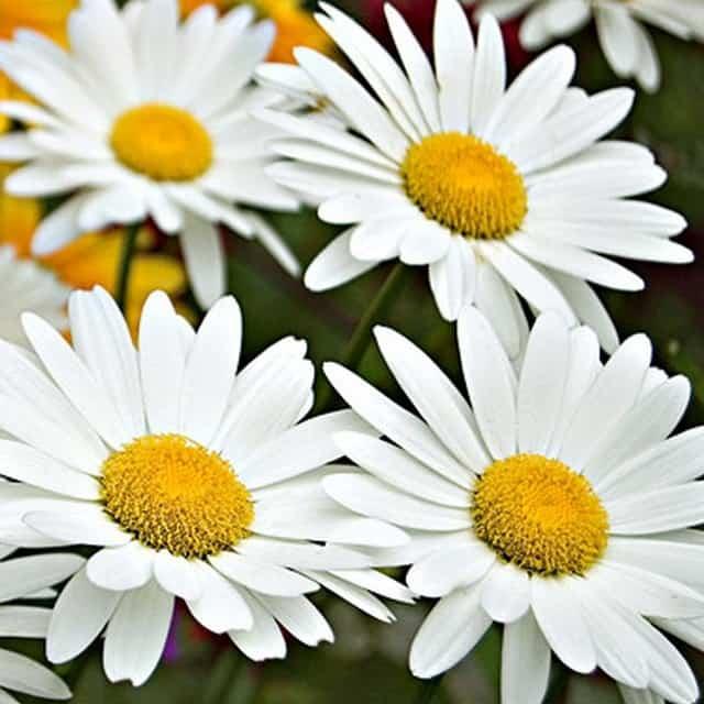 summerflowers-soorten-Leucanthemum
