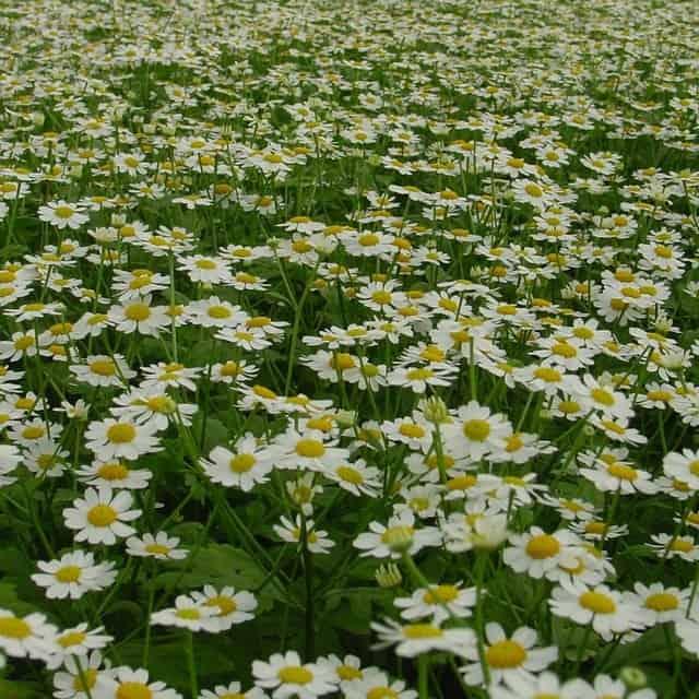summerflowers-soorten-Matricaria