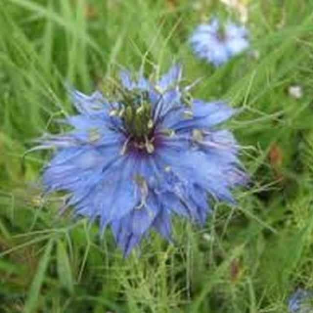 summerflowers-soorten-Nigella