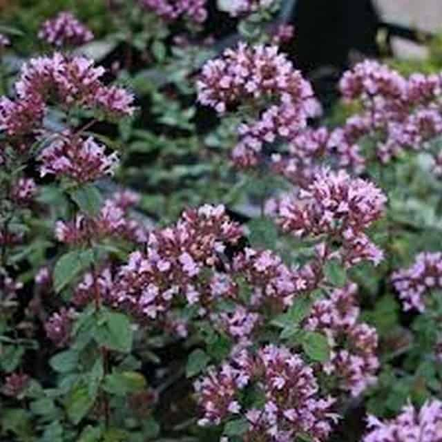 summerflowers-soorten-Origanum