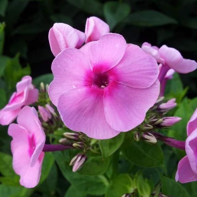 summerflowers-soorten-Phlox