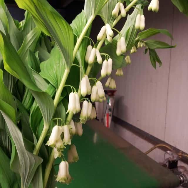 summerflowers-soorten-Polygonatum