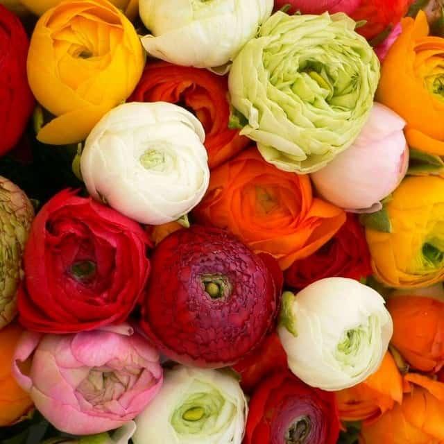 summerflowers-soorten-Ranonkel