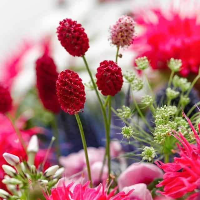 summerflowers-soorten-Sanguisorba