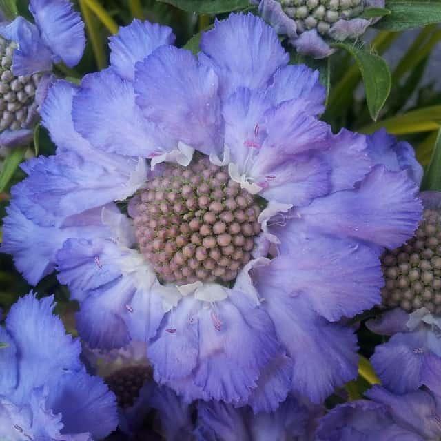 summerflowers-soorten-Scabiosa