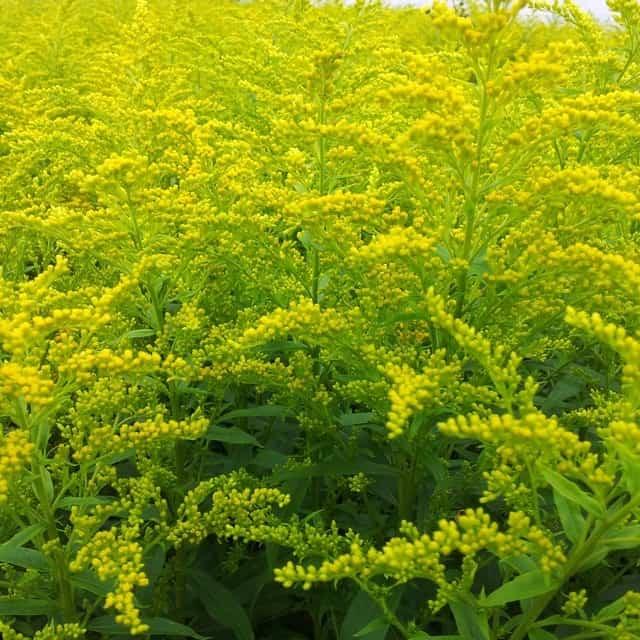 summerflowers-soorten-Solidago