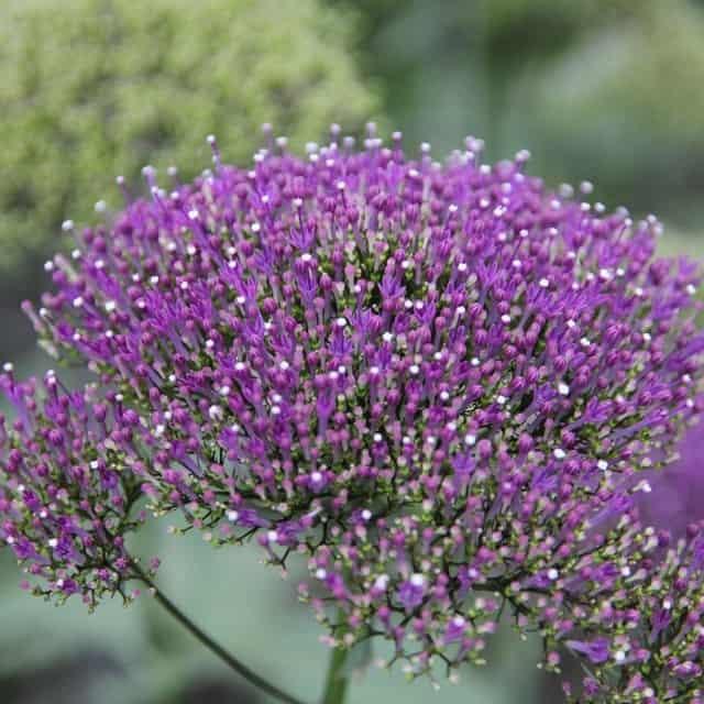 summerflowers-soorten-Trachelium
